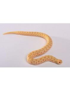 Heterodon n. nasicus Albino...