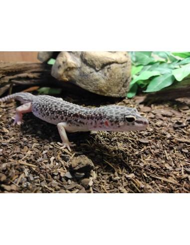Eublepharis Macularius Leopard Gecko...
